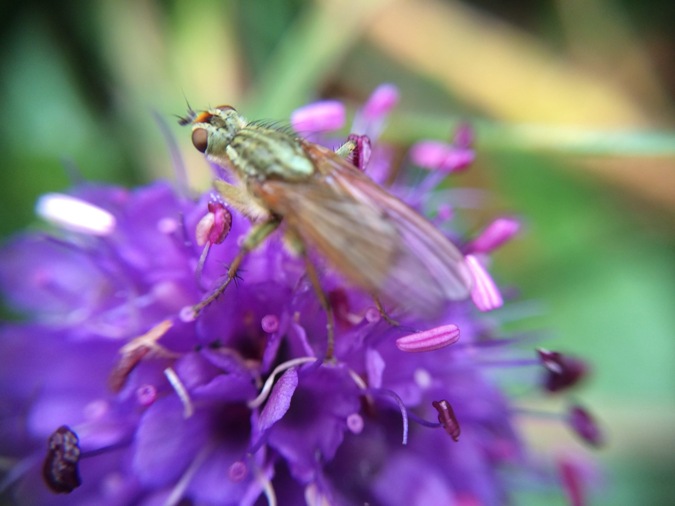 Photograph of closely bunched spherical purple flowers with an iridescent green insect resting on it.