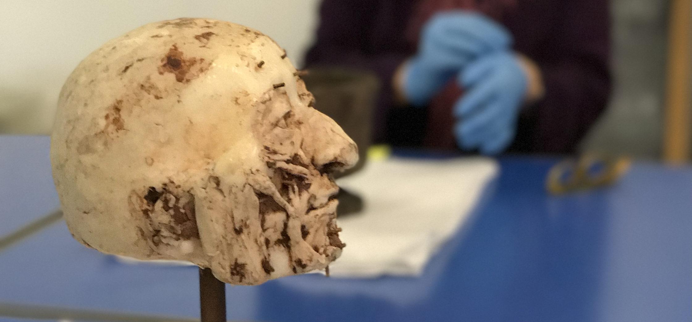 Model of a wax head in a museum